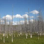 Yellowstone Lodgepole