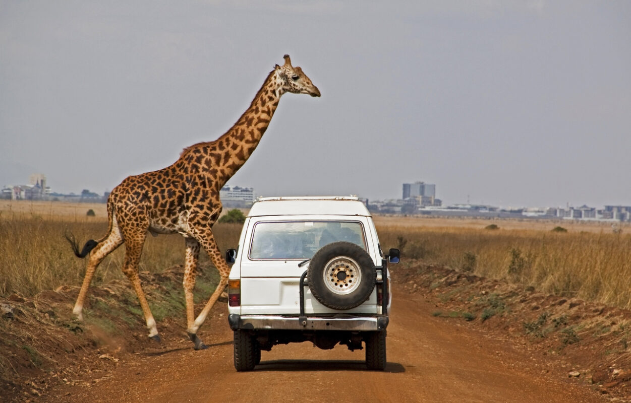Masai giraffe crosses in front of a vehicle with city backdrop in Nairobi National Park, Kenya. Focus on vehicle.